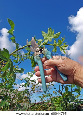 Gardener hand with scissors, cutting rose bush - stock photo