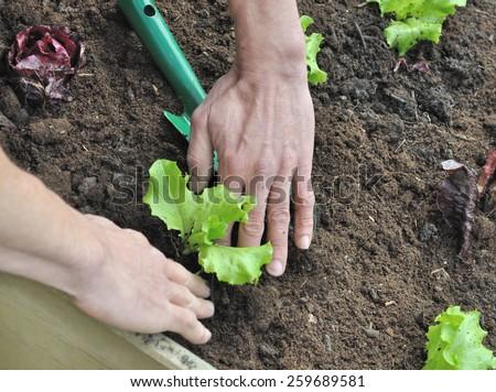 Gardener hands planting a young lettuce plant in vegetable garden - stock photo