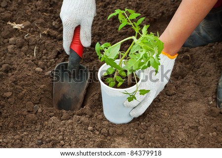 Gardener hands planting tomato seedling in ground - stock photo