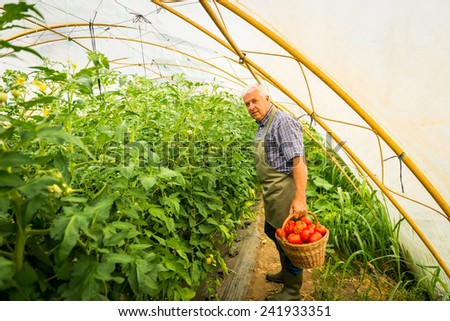 Gardener harvesting fresh tomatoes - stock photo