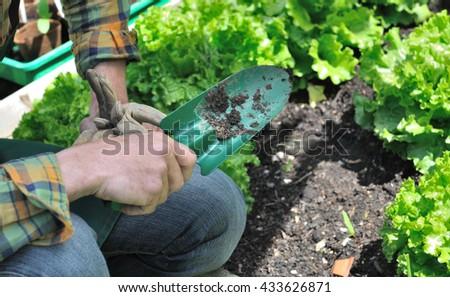 gardener holding a shovel in a vegetable garden with lettuce  - stock photo