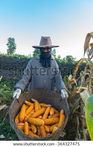 Gardener holding the basket of corn after harvested in the farm - stock photo