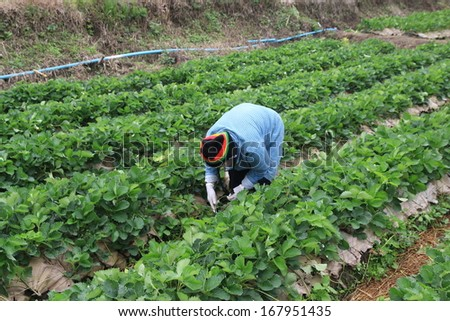 gardener in strawberry garden , agriculture harvest strawberry, Chiang Mai, Thailand