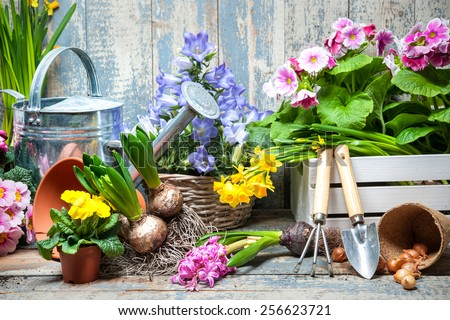 Gardener planting spring flower - stock photo