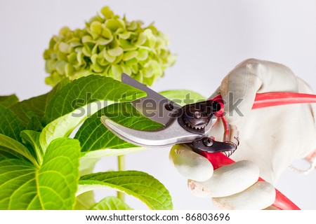 Gardener pruning the plant with scissors - stock photo