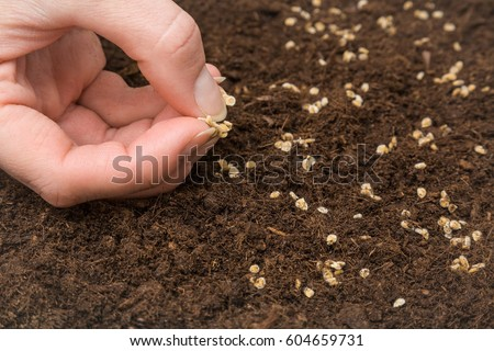Gardener's hand seeding tomato seeds in the ground. Early spring preparations for the garden season.