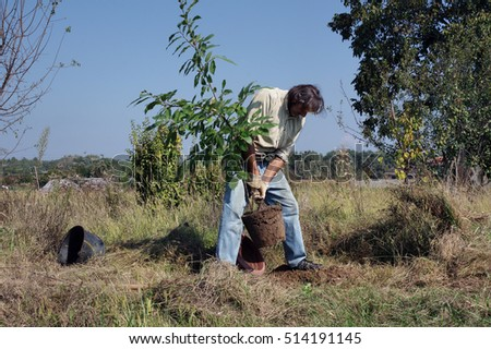 gardener sets a chestnut tree in orchard