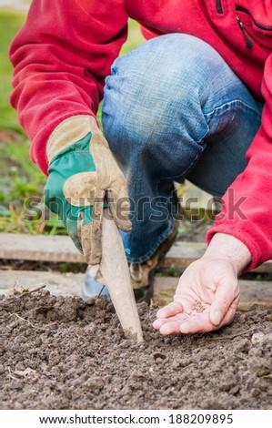 Gardener sowing seeds of radish - stock photo