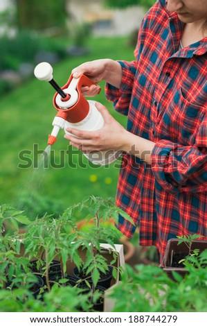 Gardener spraying tomato seedlings with water - stock photo