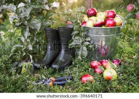 Gardener tools set  on green garden grass. Apple harvest, garden pruner, rubber boots in organic apple orchard.  Gardener tools and ripe apples side view. - stock photo