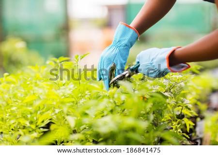 gardener trimming plant in garden - stock photo