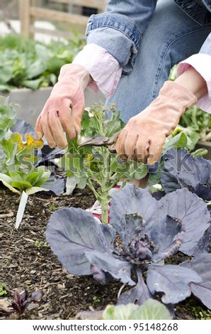 Gardener trimming the dead leaves off a plant - stock photo