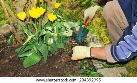 Gardener using hand trowel and protective gloves cultivates tulips