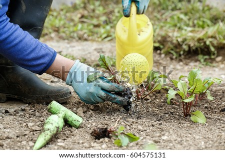 Gardener watering and fertilising freshly planted beetroot seedlings in garden bed for growth boost. Organic gardening, healthy food, nutrition and diet, self-supply and housework concept.