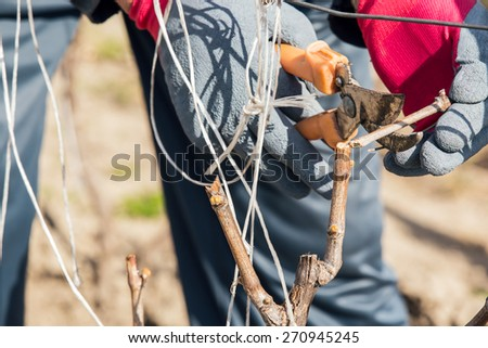 Gardener with a sharp pruner making a grape pruning - cutting branches at spring. Selective focus - stock photo