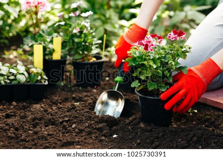 Gardener woman planting flowers in the summer garden at morning.