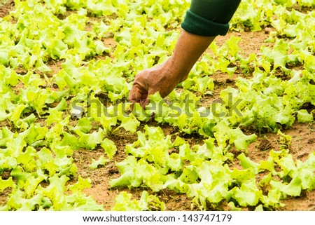 Gardener working in lettuce field in Thailand. - stock photo