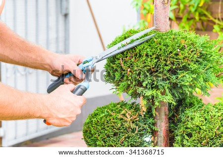 Gardeners in front of a house in the front yard. Trim a Tree of Life or Thuja tree with a hedge trimmer or chainsaw small to maintain its ornamental form. - stock photo