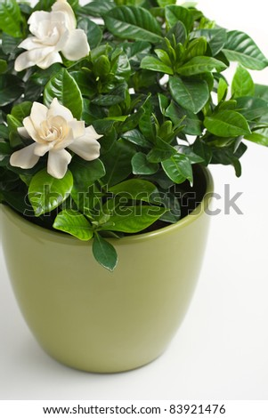 Gardenia (Gardenia jasminoides) in Flower Pot - stock photo