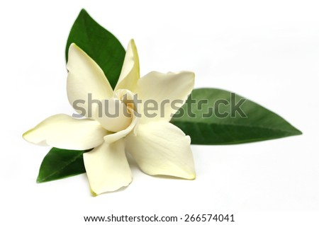 Gardenia or Gondhoraj flower of Southern Asia over white background
