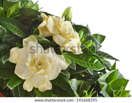 gardenia plant close up isolated on white background - stock photo