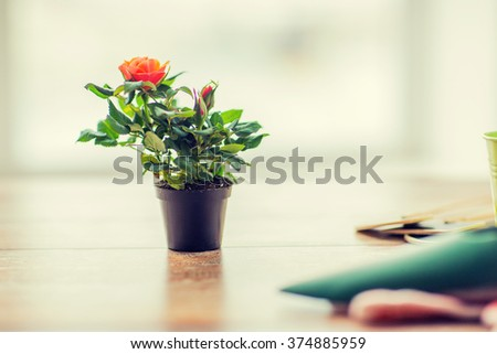 gardening and planting concept - close up of rose flower in pot on table at home - stock photo