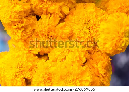 gardening, botany and flora concept - beautiful chrysanthemums flowers - stock photo