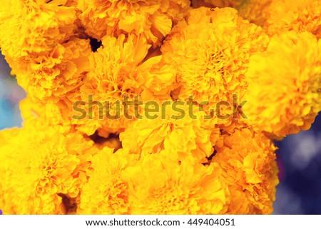 gardening, botany and flora concept - beautiful chrysanthemums flowers - stock photo