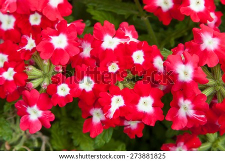 gardening, botany and flora concept - beautiful red flowers at summer garden - stock photo
