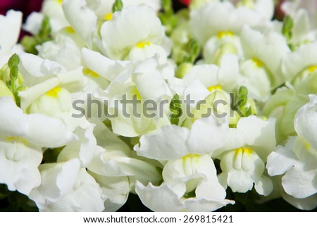 gardening, botany and flora concept - beautiful white flowers at summer garden - stock photo