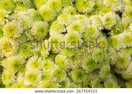 gardening, botany, texture and flora concept - beautiful chrysanthemums flowers - stock photo