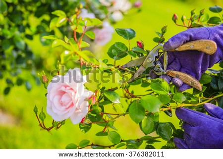 Gardening - cutting flowers roses in the garden - stock photo