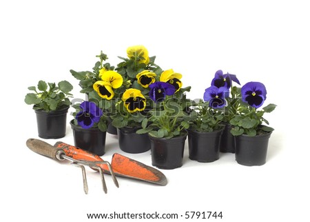 gardening in autumn with violets in yellow and purple