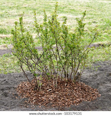 Gardening in spring. Gooseberry is covered by a mulch from a pine bark to retain moisture, reduce erosion, provide nutrients, and suppress weed growth - stock photo