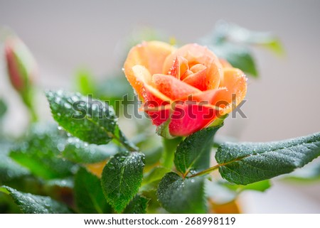 gardening, planting, floristics and flora concept - close up of rose flower - stock photo
