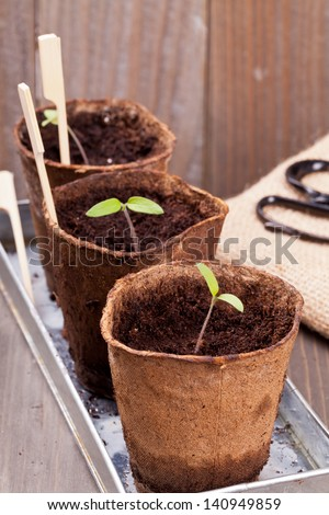 Gardening: Separated seedlings in planting pots on wooden table - stock photo