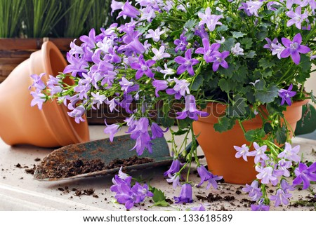 Gardening still life of tiny 'campanula get mee' (or bellflowers) in clay starter pots with spade of potting soil.  Closeup with shallow dof. - stock photo