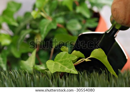 Gardening still life with ivy plant and spade.  Artistic macro with shallow dof. Selective focus on new growth in foreground. - stock photo