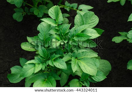 Gardening topic: bed with potato bush, potato leaves - stock photo