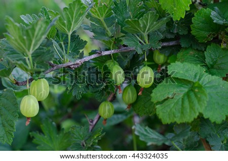 Gardening topic: bush ripe green gooseberries, gooseberry berries on branch - stock photo