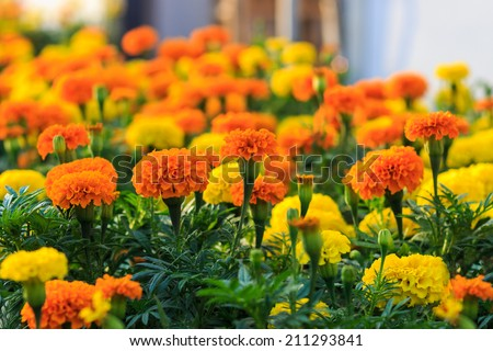 Gardens of lantana camara flowers. shallow dof, selective focus on the flower in the centre. - stock photo