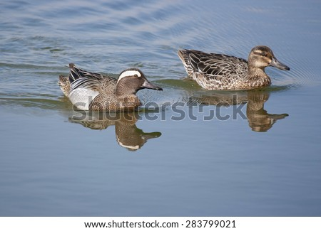 Garganey Duck (Anas querquedula) Male and female - stock photo