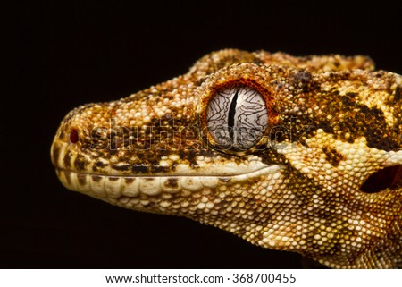 Gargoyle Gecko (Rhacodactylus auriculatus) in profile on a branch, staring into the distance against a black background. Native to New Caledonia - stock photo