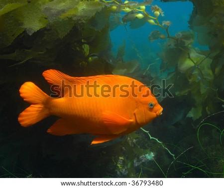 Garibaldi in Kelp Forest off of Southern California Coast. - stock photo