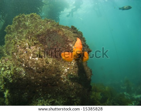 Garibaldi looking into camera with Divers in the Background on Catalina Island - stock photo