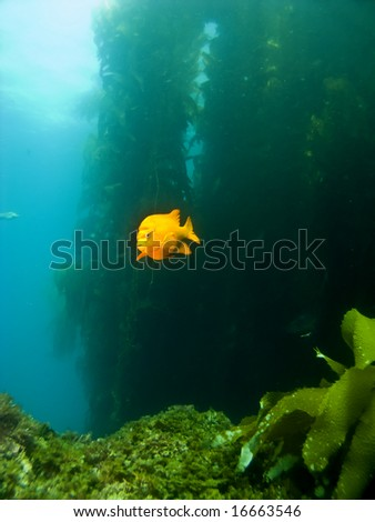 Garibaldi swimming out of the Kelp in Avalon Catalina - stock photo
