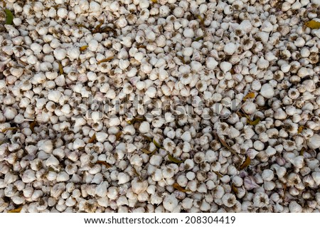 garlic background - stock photo