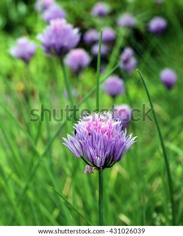 Garlic Chives flowers blooming in herb garden.Selective focus.Floral background. - stock photo