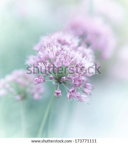 Garlic Flowers - stock photo
