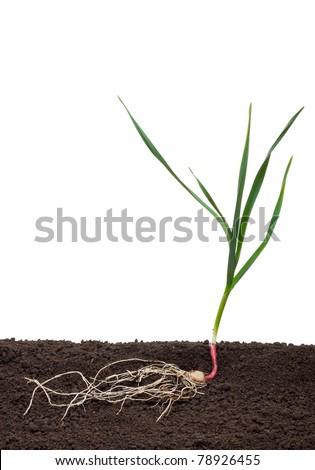 Garlic in the soil - stock photo